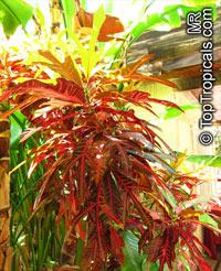 Codiaeum variegatum, CrotonClick to see full-size image