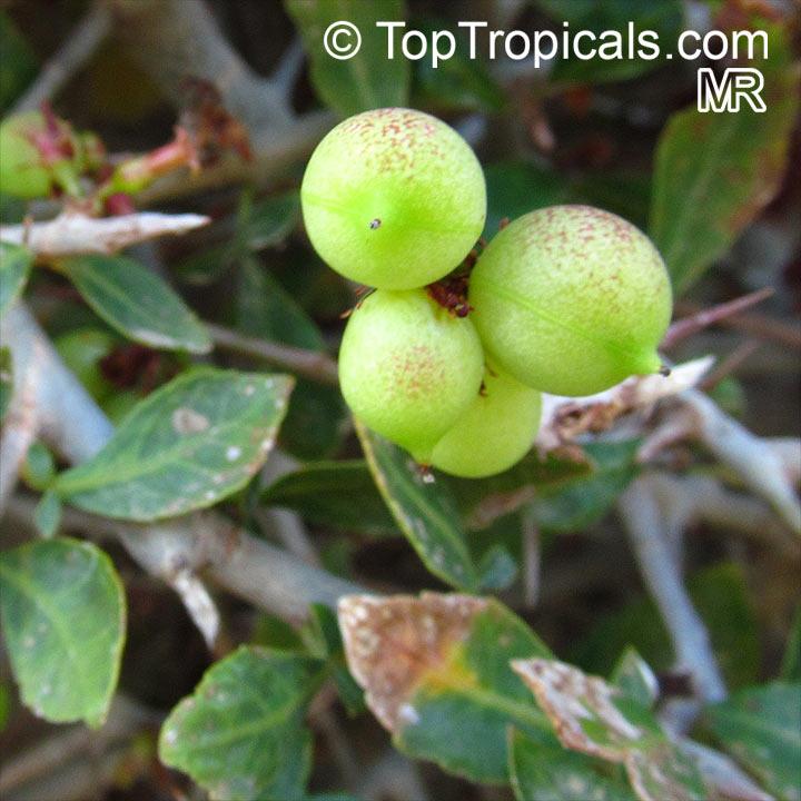 Commiphora Abyssinica Myrrh Tree Toptropicals Com