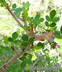 Commiphora gileadensis, Commiphora opobalsamum, Balm of Gilead, Mecca Myrrh   Click to see full-size image