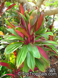 Cordyline fruticosa - seeds