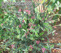 Euphorbia tithymaloides, Pedilanthus tithymaloides, Devil's backbone, Zigzag plant, Jacob's ladder