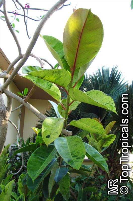 ficus elastica rubber treeclick to see full size image