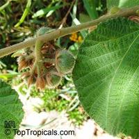 Grewia villosa, Mallow Raisin  Click to see full-size image