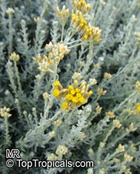 Helichrysum sp., Strawflower, Immortelle, HelichrysumClick to see full-size image