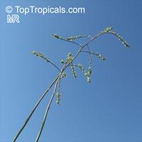 Hesperaloe funifera, Giant Hesperaloe, New Mexico False Yucca  Click to see full-size image