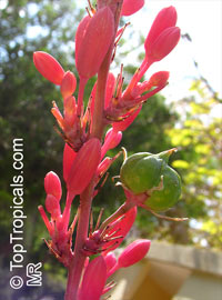 Hesperaloe sp., Red YuccaClick to see full-size image