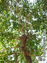 Thespesia populnea, Hibiscus populneus, Seaside Mahoe, Portia Tree, Milo   Click to see full-size image