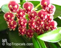 Hoya kentiana, Hoya wayettii, Wax Plant  Click to see full-size image