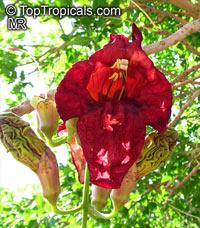 Kigelia pinnata, Kigelia africana, Sausage Tree  Click to see full-size image