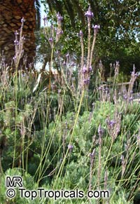 Lavandula canariensis, Canary Island Lavender  Click to see full-size image