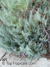Lavandula sp., LavenderClick to see full-size image