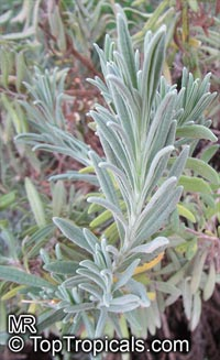 Lavandula sp., Lavender