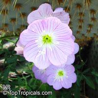 Oenothera speciosa, Pink Evening Primrose, PinkladiesClick to see full-size image
