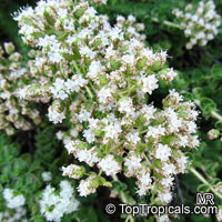 Origanum onites, Cretan Oregano, Turkish Oregano, Pot Marjoram  Click to see full-size image