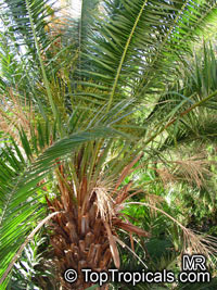 Phoenix rupicola, Cliff Date Palm, Indian Date Palm  Click to see full-size image