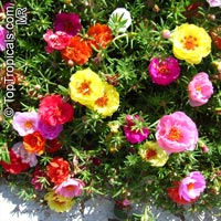Portulaca grandiflora - seeds  Click to see full-size image