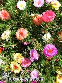 Portulaca grandiflora, Moss rose, Perslane, PurslaneClick to see full-size image