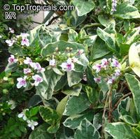 Pseuderanthemum carruthersii var. atropurpureum 'Variegatum', Pseuderanthemum variegatum, Variegated False Eranthemum  Click to see full-size image