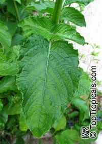 Ruellia nudiflora, Violet Ruellia, Longneck Ruellia Click to see full-size image
