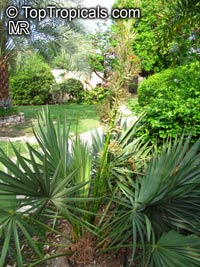 Sabal minor, Sabal etonia, Blue Palm, Blue Palmetto, Dwarf Palmetto, Scrub Palm  Click to see full-size image