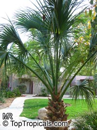 Sabal sp., Palmetto  Click to see full-size image