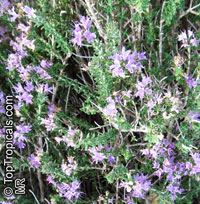 Thymus capitatus, Coridothymus capitatus, Thymus, Headed Savory  Click to see full-size image