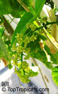 Tinospora sp., TinosporaClick to see full-size image