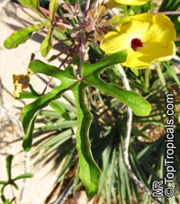 Uncarina decaryi, Uncarina  Click to see full-size image