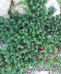 Vitex rotundifolia, Beach Vitex, Pohinahina, Roundleaf Chastetree, Kolokolo, Kahakai  Click to see full-size image