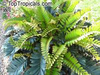 Zamia furfuracea, Cycad, Cardboard PalmClick to see full-size image