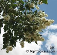 Corymbia torelliana, Eucalyptus torelliana, Cadaga, Cadaghi, Gumtree, Torell's Eucalyptus  Click to see full-size image