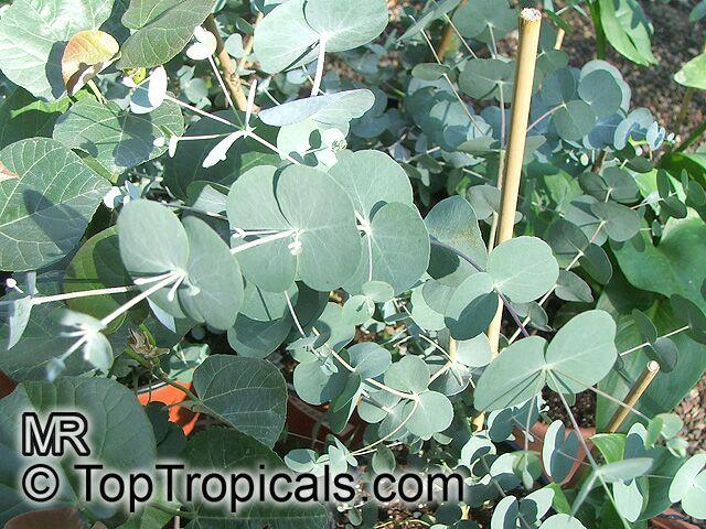 Eucalyptus Sp Eucalyptus Toptropicals Com