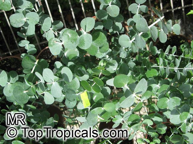 Eucalyptus Cinerea Argyle Apple Silver Dollar Gum