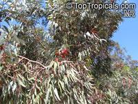 Eucalyptus torquata, Coral Gum, Coolgardie Gum  Click to see full-size image