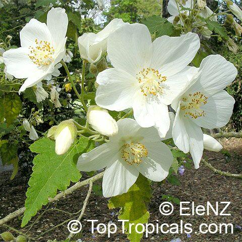 Abutilon_vitifolium154el.jpg