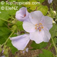 Abutilon vitifolium, Corynabutilon vitifolium, Vine-leaved Abutilon, Flowering Maple, Indian Mallow
