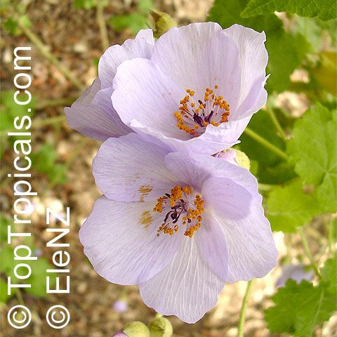 BUSQUEMOS HERMOSAS FLORES - Página 5 Abutilon_vitifolium162el