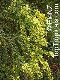 Acacia pravissima, Ovens WattleClick to see full-size image