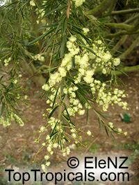 Acacia catechu, Khair - seeds