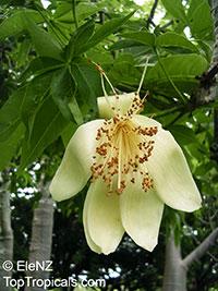 Adansonia gregorii, Boab, Baobab, Australian Bottle Tree  Click to see full-size image