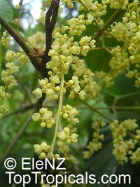Aglaia sapindina, Aglaia novaguineensis, Luka-luka Ma  Click to see full-size image