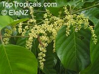 Aglaia sapindina, Aglaia novaguineensis, Luka-luka MaClick to see full-size image