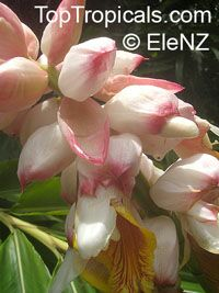 Alpinia nutans, Alpinia speciosa, Shell ginger, Pink porcelain lily, Narrow-Leaf Cinnamon Ginger, Shellflower, Dwarf cardamom, False cardamom