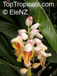 Alpinia nutans, Alpinia speciosa, Shell ginger, Pink porcelain lily, Narrow-Leaf Cinnamon Ginger, Shellflower, Dwarf cardamom, False cardamom  Click to see full-size image