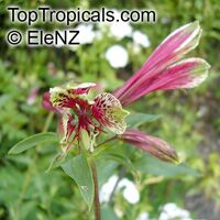 Alstroemeria psittacina, Parrotlily, Parrot Flower, Red Parrot Beak, New Zealand Christmas Bell  Click to see full-size image