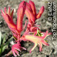 Anigozanthos sp., Kangaroo PawClick to see full-size image