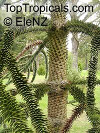 Araucaria araucana, Araucaria imbricata, Monkey Puzzle Tree, Chilean PineClick to see full-size image