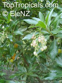 Arbutus sp., Strawberry Tree, Madrone