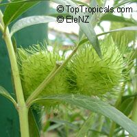 Gomphocarpus fruticosus, Balloon plant - seeds  Click to see full-size image