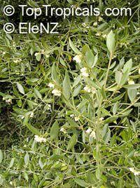 Atherosperma moschatum, Black Sassafras  Click to see full-size image